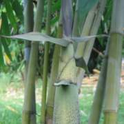 PHOTO OF GHOST BAMBOO SHOOTS: AMOENUS