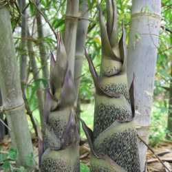 PHOTO OF BLACK BRANDISII BAMBOO SHOOTS: DIFFERENT CLONES HAVE DIFFERENT SHOOTS