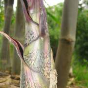 PHOTO OF BLACK BRANDISII BAMBOO SHOOT: ORNAMENTAL AND DELICIOUS