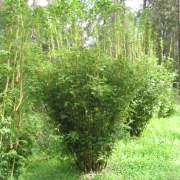 PHOTO OF BAMBUSA MULTIPLEX STRIPESTEM FERNLEAF: SMALL ORNAMENTAL HEDGING BAMBOO