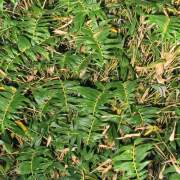 PHOTO OF STRIPESTEM FERNLEAF HEDGING BAMBOO: VERY SMALL LEAVES