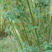 PHOTO OF FERNLEAF STRIPESTEM: TIGHT CLUMPING, SHORT BAMBOO