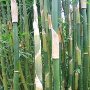 PHOTO OF NEW SHOOTS OF FASCA OR  FUSCA BAMBOO