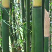 PHOTO OF FASCA: DARK WEAVERS BAMBOO