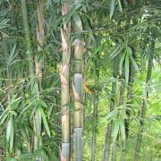 PHOTO OF WEAVERS BAMBOO SHOOTS